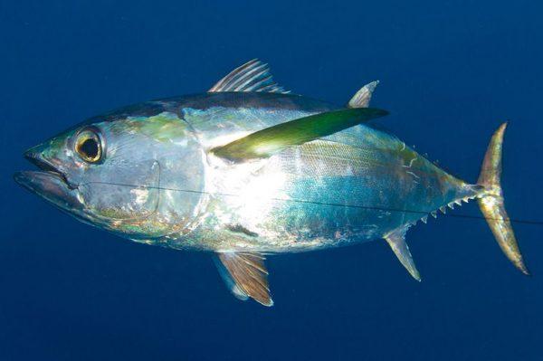 20lb Tuna